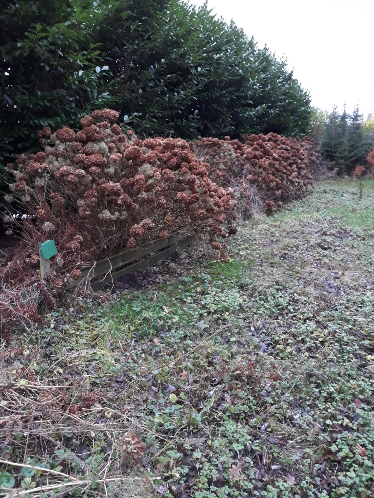Het snoeien van hortensia's