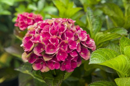 Magical Hortensia in bloei