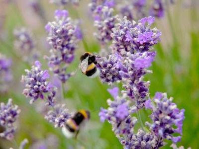 Bloemen die bijen trekken