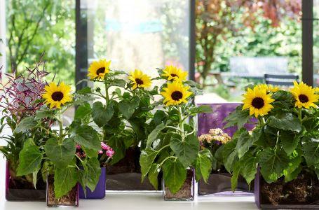 Zonnebloemen in pot