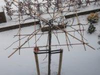 Parasolboom in de sneeuw met vogelvoer