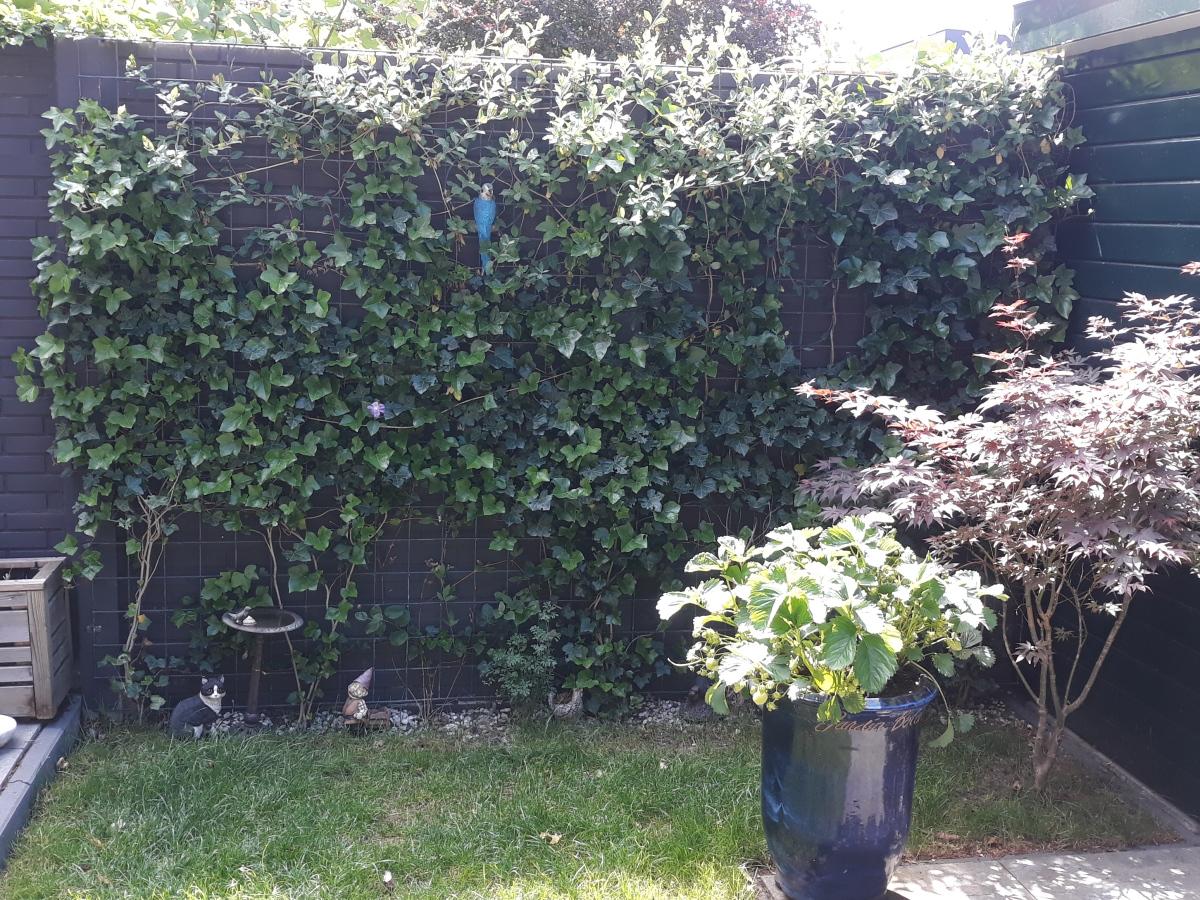 Hedera, kamperfoelie en Clematis groeien tegen een gaaspaneel