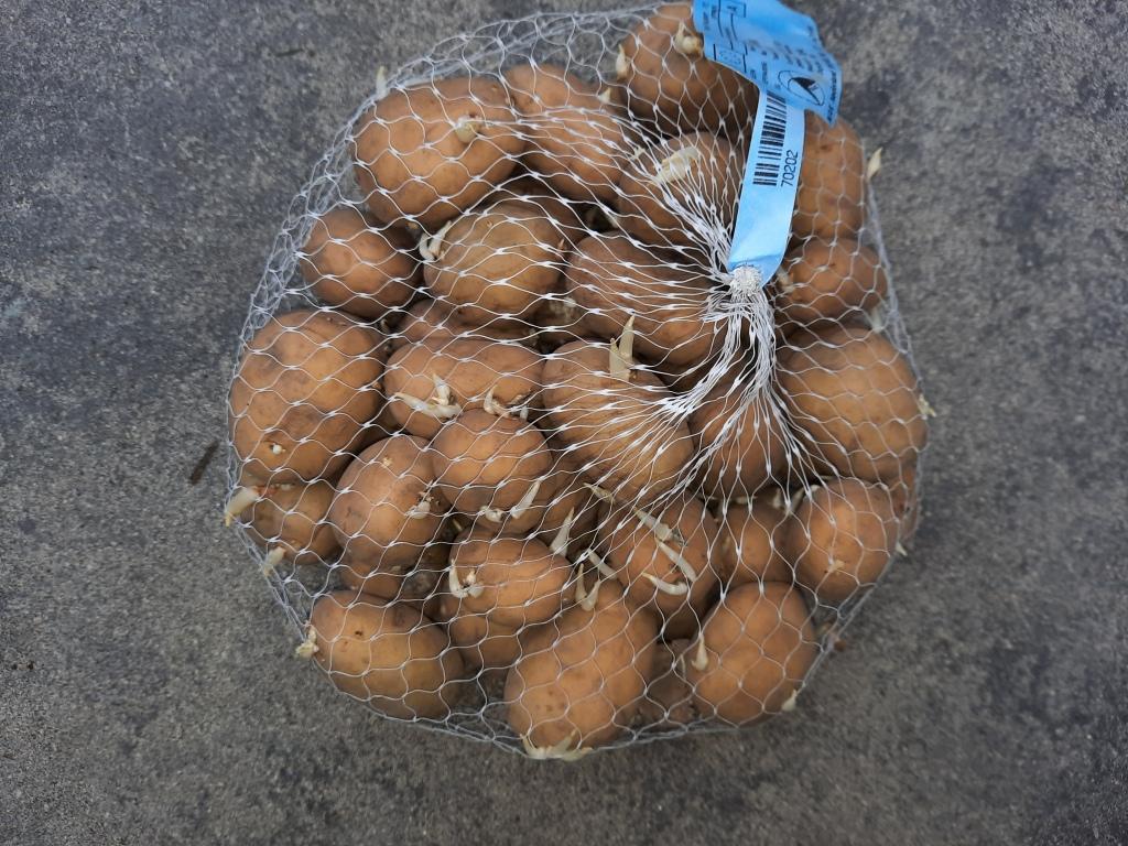 poters aardappelen poten pootgoed